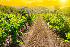 Beautiful green vineyard at sunset time. Landscape with rural winery field stock image