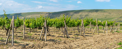 Beautiful green vineyards on fields in mountains of Crimea. Royalty Free Stock Images
