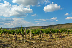 Beautiful green vineyards on fields in mountains of Crimea. Stock Photos
