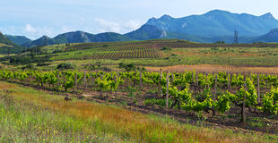 Beautiful green vineyards on fields in mountains of Crimea. Stock Photo