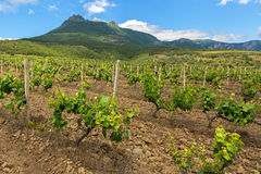 Beautiful green vineyards on fields in mountains of Crimea. Royalty Free Stock Photography