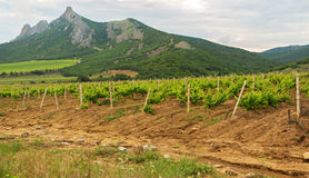 Beautiful green vineyards on fields in mountains of Crimea. Stock Photography