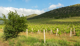 Beautiful green vineyards on fields in mountains of Crimea. Royalty Free Stock Image