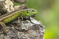 Beautiful green wall lizard in the garden Royalty Free Stock Photography