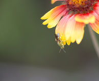 Beautiful green wasp on flower petal Royalty Free Stock Image