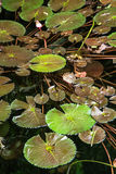 Beautiful green water lilies in the dark water Royalty Free Stock Images