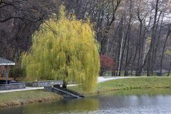 Beautiful green weeping willow on the shore of a pond in an autumn park Royalty Free Stock Photos