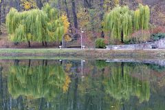 Beautiful green weeping willows on the shore of a pond in an autumn park Royalty Free Stock Photo