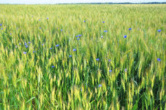 Beautiful Green wheat field with blue cornflowers and countryside scenery Royalty Free Stock Photos