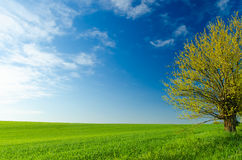 Beautiful green wheat field and blue sky - background Royalty Free Stock Photography