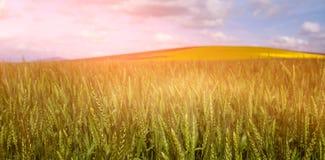 Beautiful green wheat field Royalty Free Stock Image