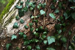 Beautiful, green wild ivy on tree bark in the forest stock photos
