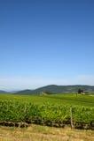 Beautiful green Wineyards in Tuscany, Chianti, Italy. Wineyards in Tuscany, vinegrapes, and leaves vine. Chianti region, in Tuscany, Italy stock images