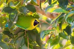Beautiful green-yellow bird perching in  banyan tree. Stock Image