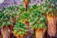 Palm Oasis Clustered Together in the Desert. A beautiful green and yellow Fan Palm trees at this desert oasis Stock Images
