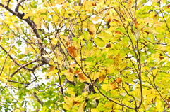 Beautiful green and Yellow leaves Stock Photos
