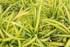 Beautiful Green Yellow Spider Plant Stock Photo