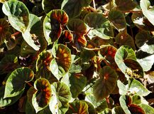 Beautiful Greenish red Iresine plants Stock Photography