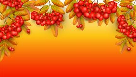 Beautiful greeting card. With realistic 3d mesh rowan branch on a orange background. Rowan branch with orange leaves and red ashberry. Vector illustration Stock Image