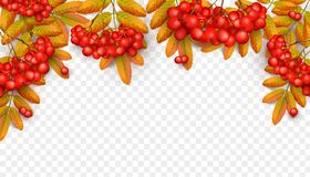 Beautiful greeting card with realistic 3d mesh. Rowan branch isolated on a transparent background. Rowan branch with orange leaves and red ashberry. Vector Royalty Free Stock Photos