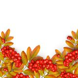 Beautiful greeting card. With realistic 3d mesh rowan branch isolated on a white background. Rowan branch with orange leaves and red ashberry. Vector Royalty Free Stock Images