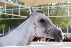 Beautiful grey Arabian horse Royalty Free Stock Photography