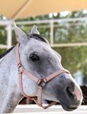 Beautiful grey Arabian horse Royalty Free Stock Photos