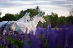 Arabian horses running free on a flower meadow. Beautiful grey Arabian horses running gallop on a lupine flower meadow Royalty Free Stock Photography