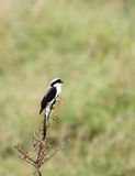A beautiful Grey-Backed Fiscal perched on a bush Stock Photography