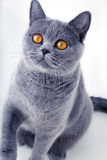 Beautiful grey british cat Royalty Free Stock Images