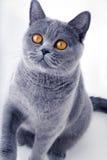 Beautiful grey british cat Royalty Free Stock Images