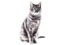 Beautiful grey brown white striped cat. Cat on a white studio background for cutout stock image