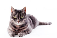 Beautiful grey brown white striped cat. Cat on a white studio background for cutout stock images