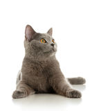 The beautiful grey cat Royalty Free Stock Images