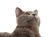 The beautiful grey cat Stock Photo