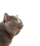The beautiful grey cat Royalty Free Stock Photo