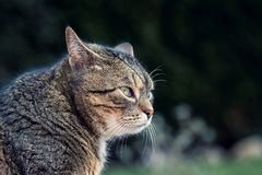 Beautiful grey cat Royalty Free Stock Image