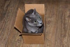 Beautiful grey cat hiding in cardboard box. Stock Image