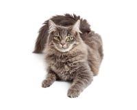 Beautiful Grey Cat Laying Looking Forward Royalty Free Stock Image