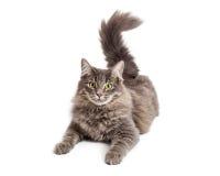 Beautiful Grey Cat Looking at Camera Stock Photo