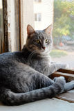 Beautiful grey cat sitting on windowsill and Royalty Free Stock Images