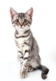 Beautiful grey cat Stock Photos