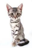 Beautiful grey cat Stock Image