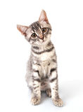 Beautiful grey cat Stock Photography