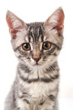 Beautiful grey cat Royalty Free Stock Photos