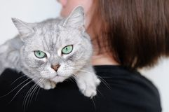 Beautiful grey cat Royalty Free Stock Photos
