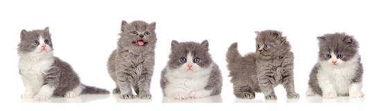 Beautiful grey cats Stock Image