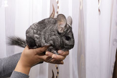 Beautiful grey Chinchilla on hand Stock Photography