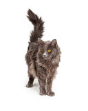 Beautiful Grey Color Long Hair Cat Stock Photos