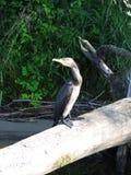 Black cormorant bird resting on tree branch, Lithuania Royalty Free Stock Image